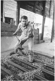 Jimmy Carter shovels peanuts on his farm in Plains, Georgia, in 1969. Carter rose to prominence in local and state politics before winning the presidency in his first attempt at national office. ARCHIVE PHOTOS